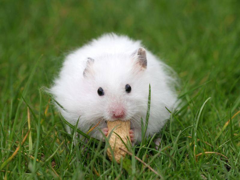 "Flauschiger Hamster: ""Erdnüsse sind mein Lieblingsessen!"" – Bild: Shutterstock / Simone van den Berg"
