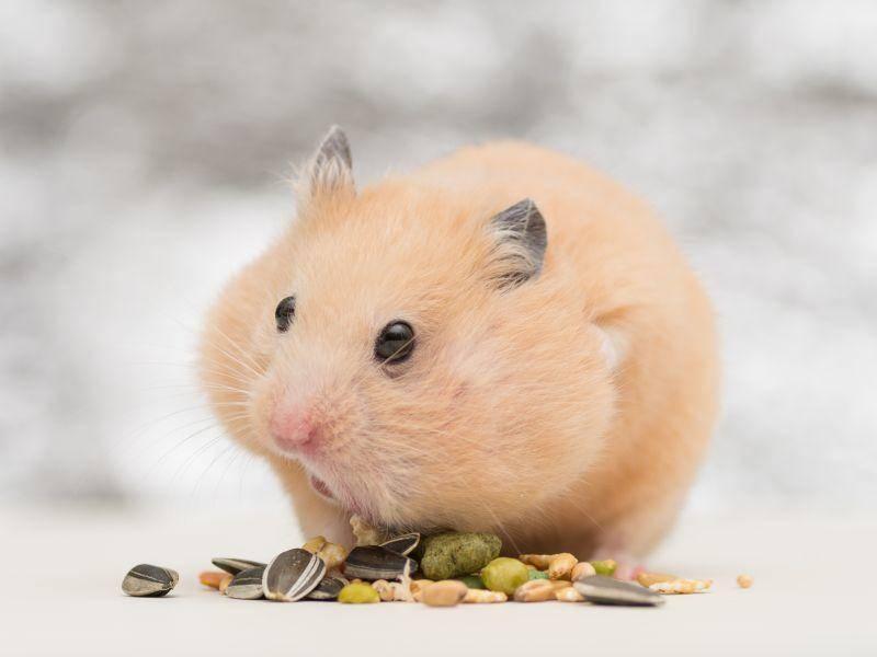 Seine Körnchen aufzuessen ist aber auch wichtig, weiß dieser Hamster – Bild: Shutterstock / stock shot