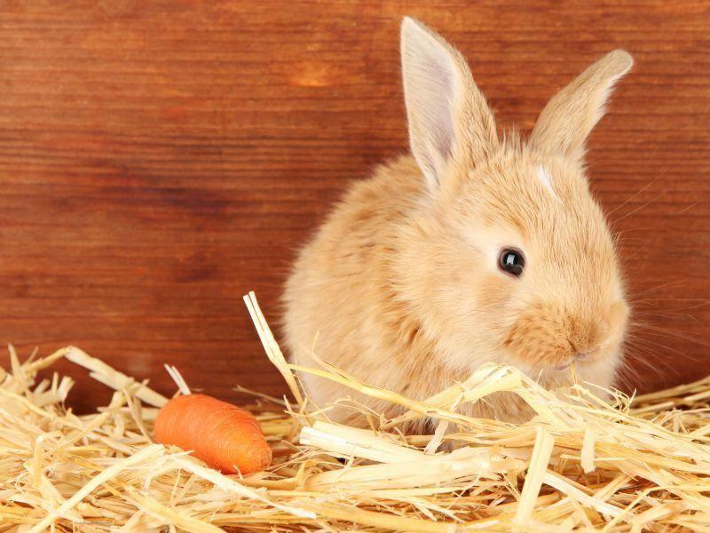 Kaninchen brauchen einen sehr großen Käfig, oder Freilauf im kaninchensicheren Zimmer – Bild: Shutterstock / Africa Studio