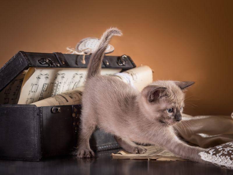 So sieht ein Tonkanesen-Katzenbaby aus – Bild: Shutterstock / dezi