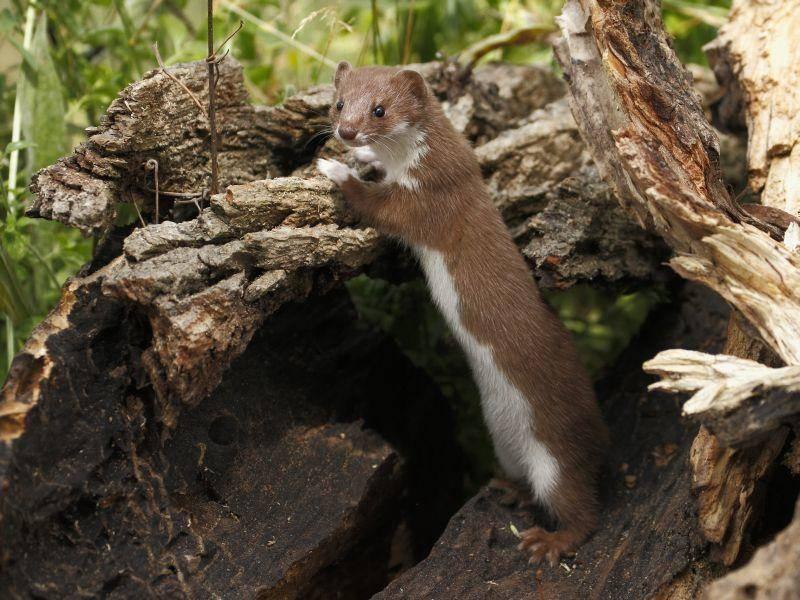Das Mauswisel gilt als das kleinste Raubtier der Welt und gehört zur Familie der Marder – Bild: Shutterstock / GUIDO BISSATTINI
