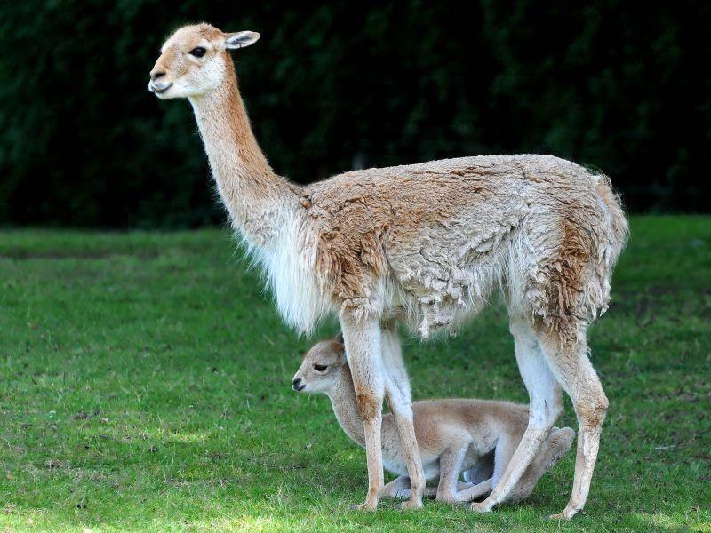 Beliebtes kleines Kamel: Das Lama – Bild: Shutterstock / Dennis Jacobsen