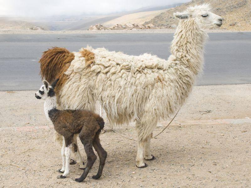 Die höckerlose Kamelart stammt vom Guanako ab – Bild: Shutterstock / Sergio Schnitzler