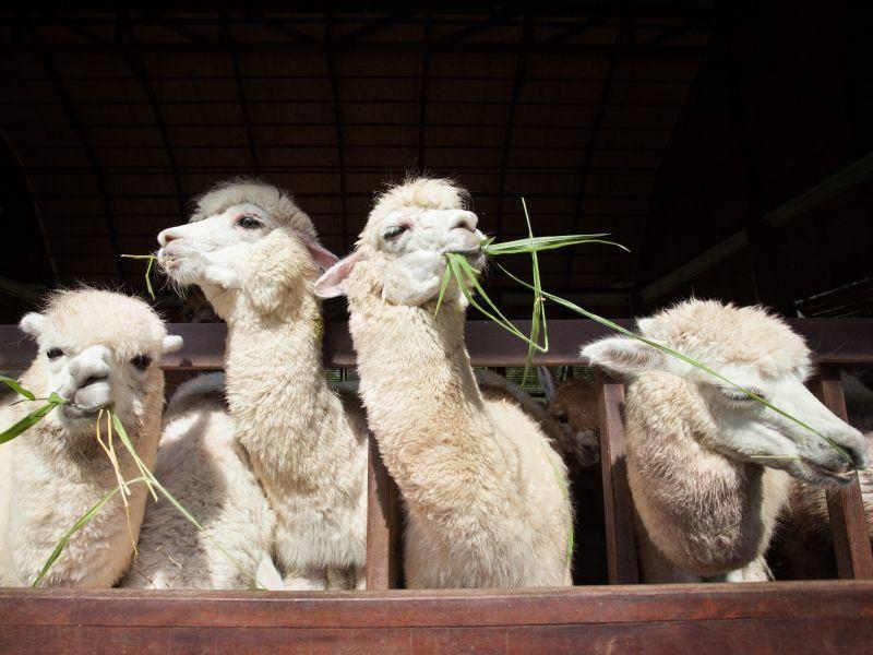 Die beliebte Kamelart frisst gern Gräser, Blätter, Pilze und Kraut – Bild: Shutterstock / mania1