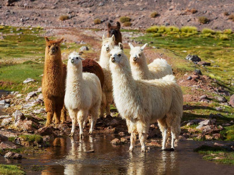 Es kommt aus Südamerika und lebt in Herden – Bild: Shutterstock / Galyna Andrushko1