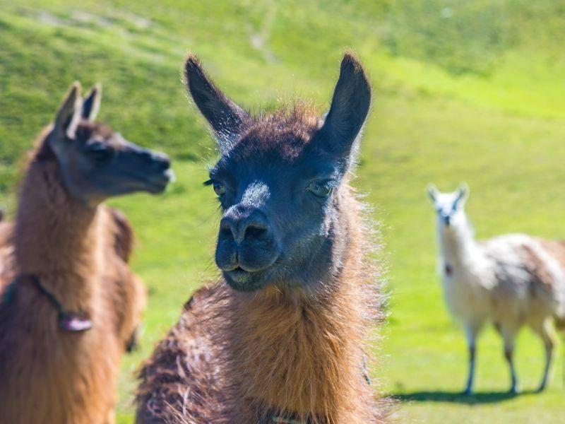 In der Herde pflegen die Vierbeiner normalerweise ein sehr friedfertiges Zusammenleben – Bild: Shutterstock / Alan Falcony