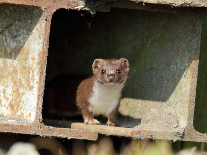Mauswiesel auf Tour: Die kleinen Raubtiere werden auch Zwerg- oder Kleinwiesel genannt – Bild: Shutterstock / Menno Schaefer
