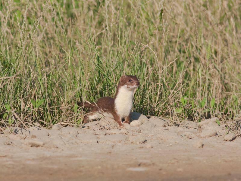 Die Mauswiesel-Männchen sind von März bis Oktober auf der Suche nach paarungswilligen Weibchen – Bild: Shutterstock / Florian Andronache