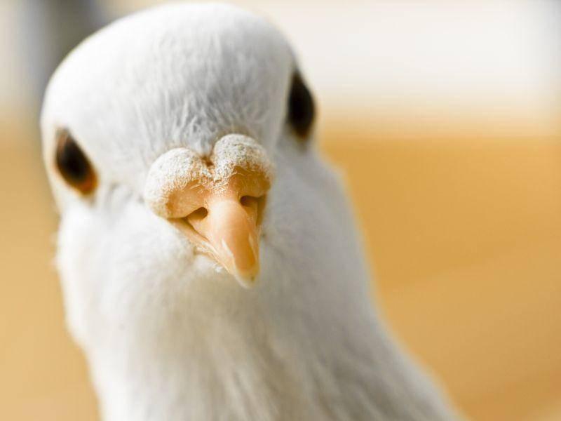So sieht die weiße Taube von ganz Nahem aus – Bild: Shutterstock / Aaron Amat