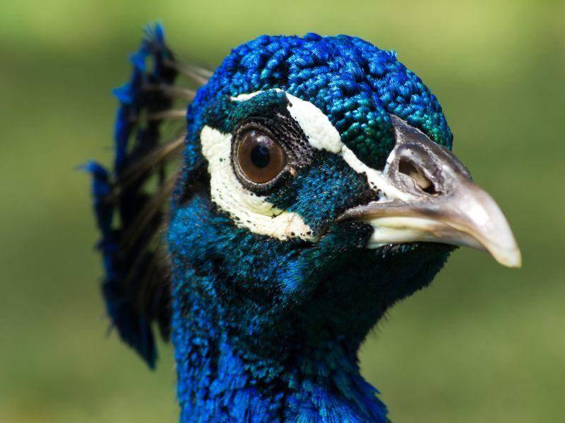 Seine Art wird, wie auch der Fasan, zu den Hühnervögeln gezählt – Bild: Shutterstock / Pakhnyushchy