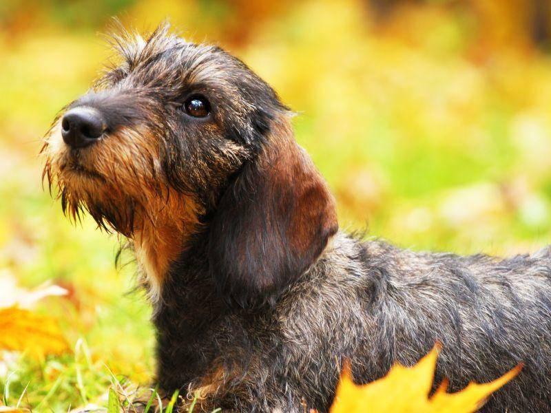 rauhaardackel-hund-blaetter-shutterstock-Denisa Doudova