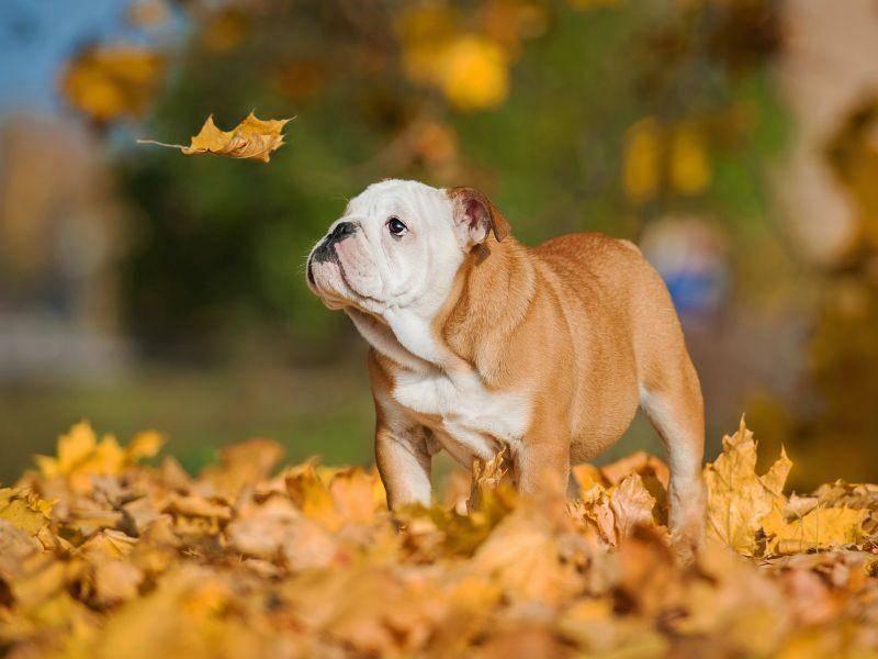 """Die Englische Bulldogge aber auch: """"Wow, ein Herbstblatt!"""" – Bild: Shutterstock / Rita Kochmarjova"""