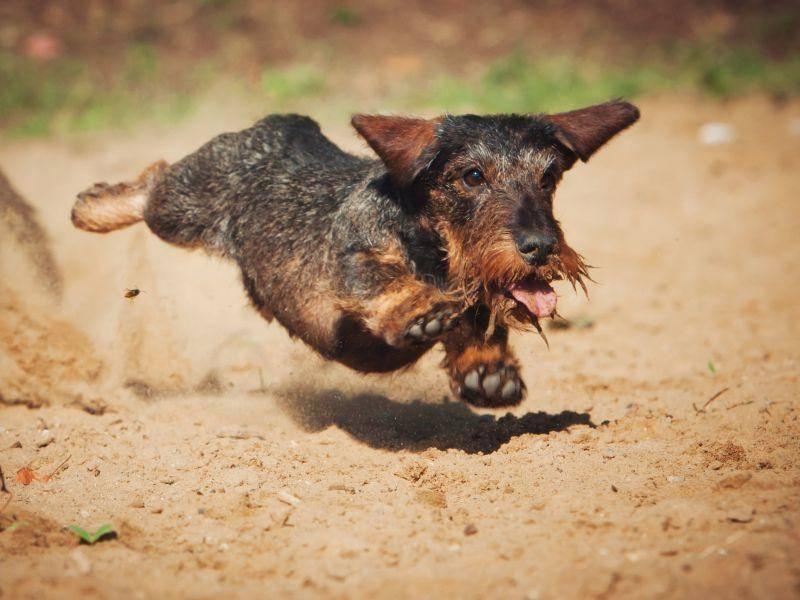 Flink und voller Elan: Der Rauhaardackel ist ein Hund, der viel Auslauf braucht – Bild: Shutterstock/ Maria Ivanushkina