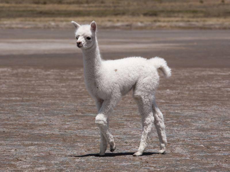 Einfarbig oder gescheckt: Lamas können die verschiedensten Fellfarben haben – Bild: Shutterstock / Andrea Visconti