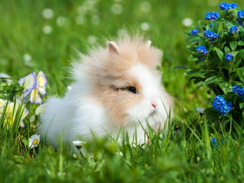 Langhaarkaninchen sollten etwa einmal wöchentlich vorsichtig gebürstet werden – Bild: Shutterstock / Dora Zett