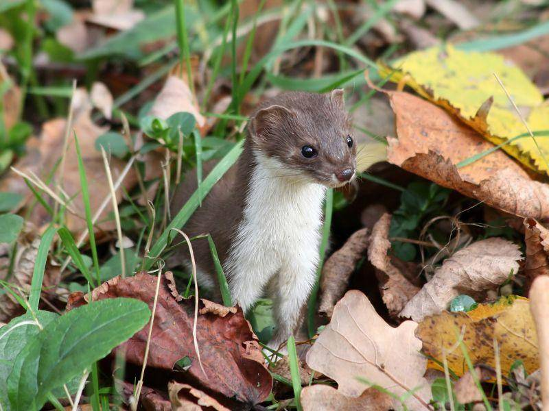 Die Hauptnahrung von Mauswieseln: Kleine Nagetiere – Bild: Shutterstock/ Alucard2100