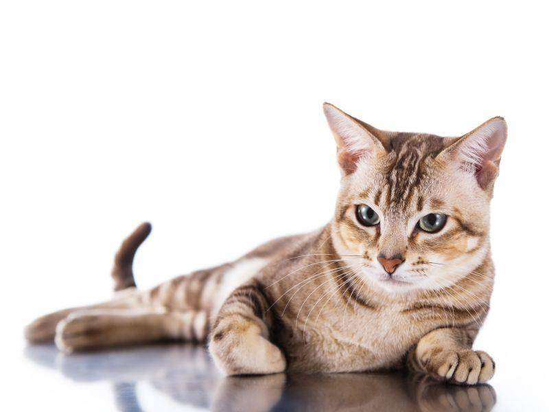 Man sollte diese Katze nicht so viel allein lassen, denn sie ist sehr anhänglich – Bild: Shutterstock / dezi