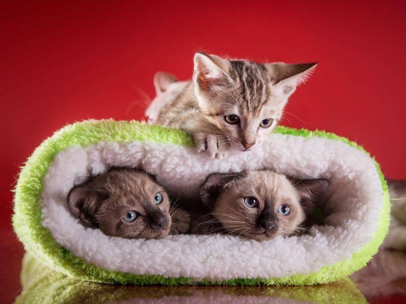 Drei kleine Nachwuchs-Tonkanesen genießen die Spielzeit – Bild: Shutterstock / dezi