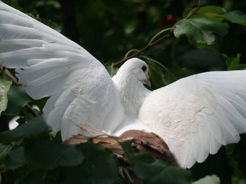 Prachtvolle weiße Flügel: Diese Taube ist ein Blickfang – Bild: Shutterstock / olena2552