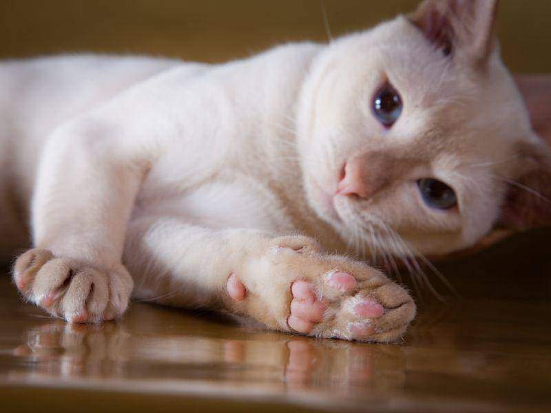 Dunkelblau, türkis oder grüngelb sind typische Augenfarben bei der Tonkanese – Bild: Shutterstock / dezi