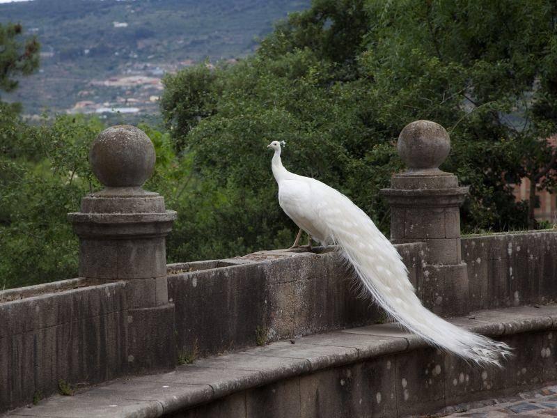 """Majestätischer weißer Pfau: """"Die Aussicht genießen, das ist schön!"""" – Bild: Shutterstock / Jose AS Reyes"""