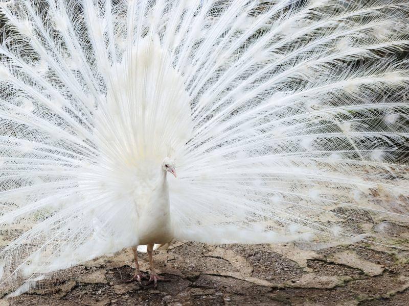 So schön ist sein riesiges weißes Federrad – Bild: Shutterstock / Maksym Holovinov