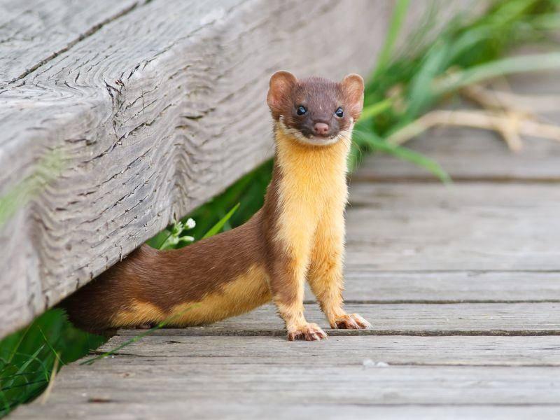 Dank ihrem Körperbau können die Mini-Wiesel auch unterirdisch nach Mäusen jagen – Bild: Shutterstock / Wildphoto3