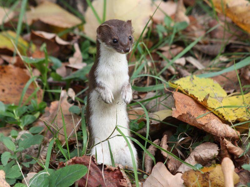 Auch größere Nager wie Kaninchen gehören zum Beuteschema der Mauswiesel – Bild: Shutterstock / Alucard2100