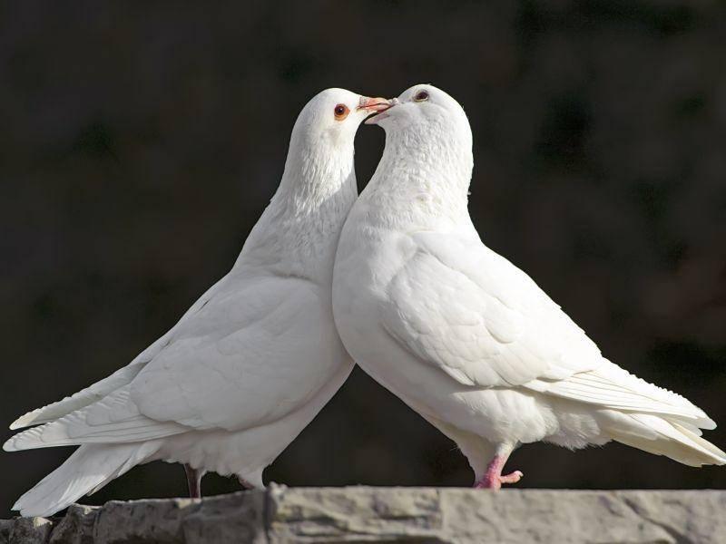 """Der Begriff """"Turteltauben"""" kommt natürlich nicht von ungefähr ... – Bild: Shutterstock / Jack Q"""