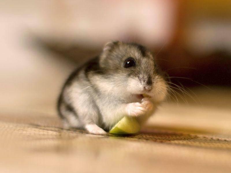 So ein Stück Apfel muss man genießen, findet Kandidat Nummer sieben – Bild: Shutterstock / fantom rd
