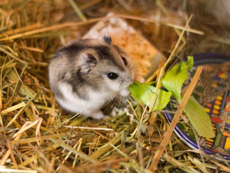 Mini-Salatblatt für einen Mini-Hamster: Das passt doch perfekt! – Bild: Shutterstock / jushik