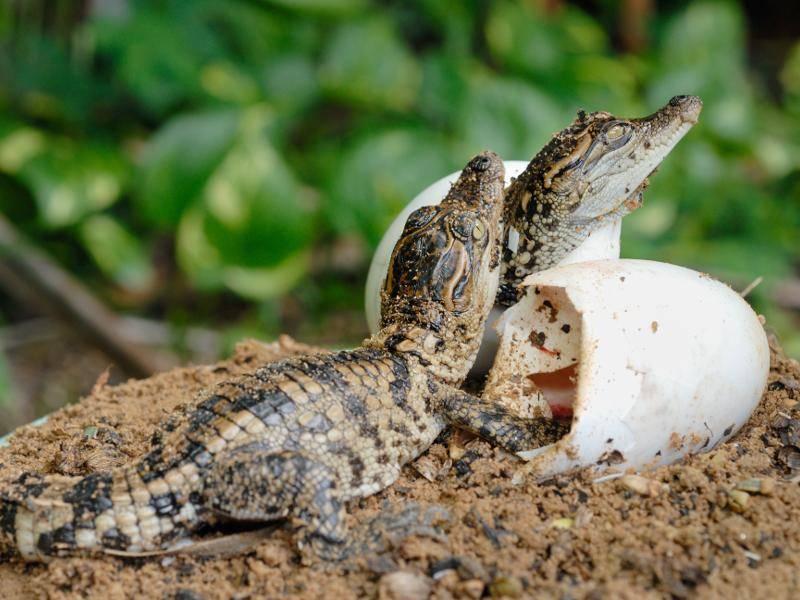 Doch die Jungtiere werden häufig von Nesträubern, wie beispielsweise Vögeln, erbeutet – Bild: Shutterstock / dioch