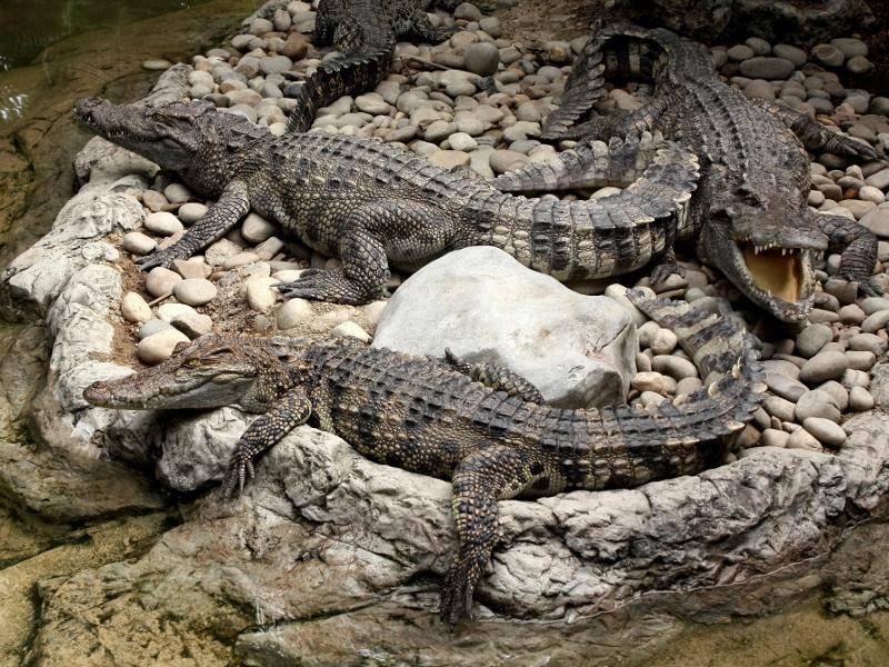 Wenn die Tiere ausgewachsen sind, haben sie keine natürlichen Fressfeinde – Bild: Shutterstock / Waranan