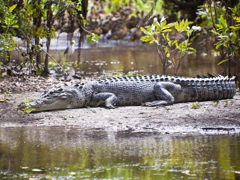 Außerdem können Krokodile eine Länge von über sechs Metern erreichen – Bild: Shutterstock / GTS Productions