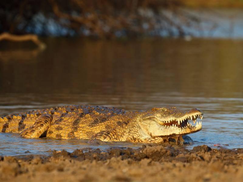 Zudem fühlen sich Krokodile im Süßwasser am wohlsten – Bild: Shutterstock / Julian W