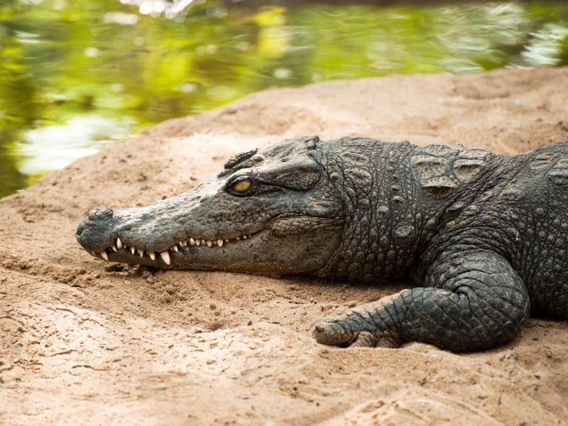 Die Krokodile sind Fleischfresser... – Bild: Shutterstock / Im Perfect Lazybones