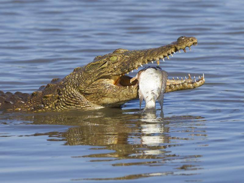 ... und jagen nicht nur kleine Tiere, sondern wählen auch größere Beute aus, die sie überwältigen können – Bild: Shutterstock / Stuart G Porter