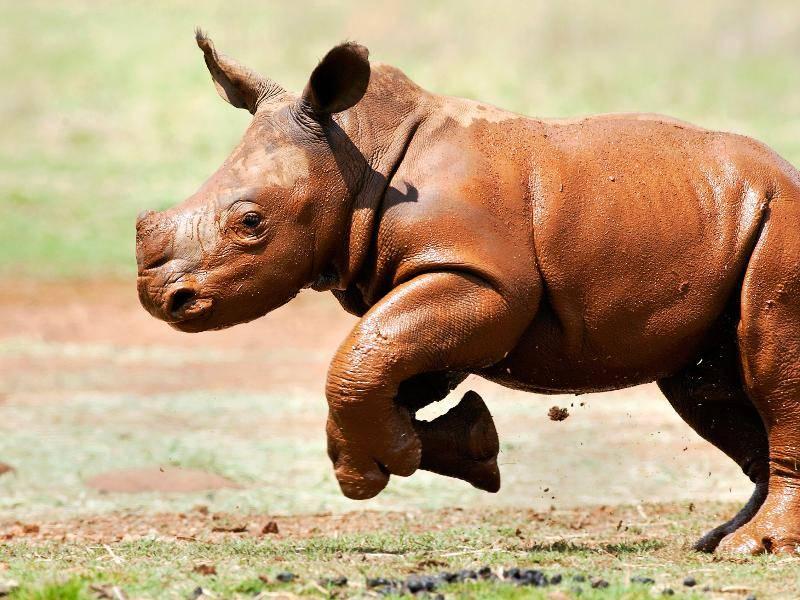 """""""So sehen wir Nashörner als Jungtiere aus. Niedlich!"""" – Bild: Shutterstock / Chad Wright Photography"""