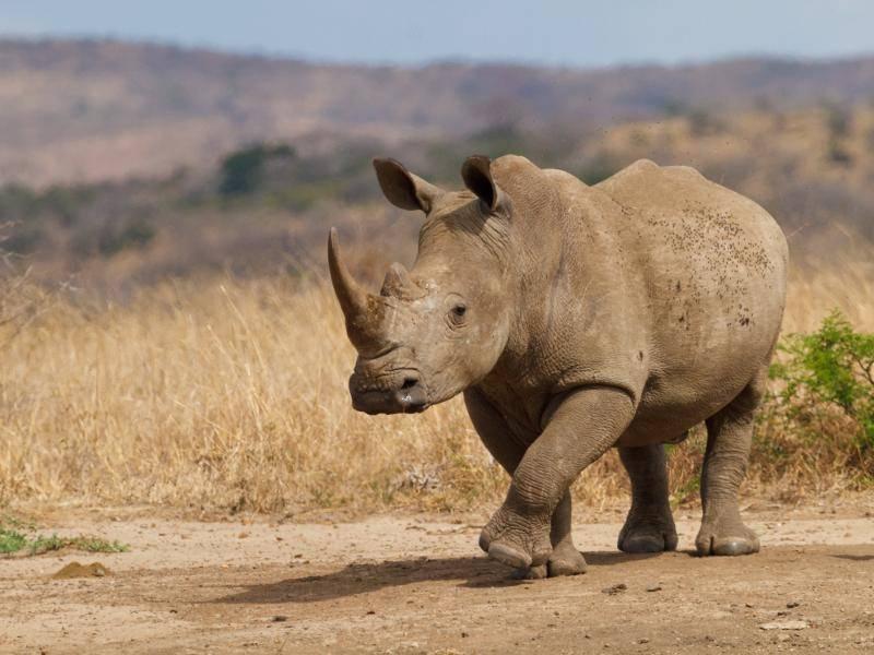 """""""Danach ziehen wir Nashörner meistens allein in die große weite Welt!"""" – Bild: Shutterstock / Nobby Clarke"""
