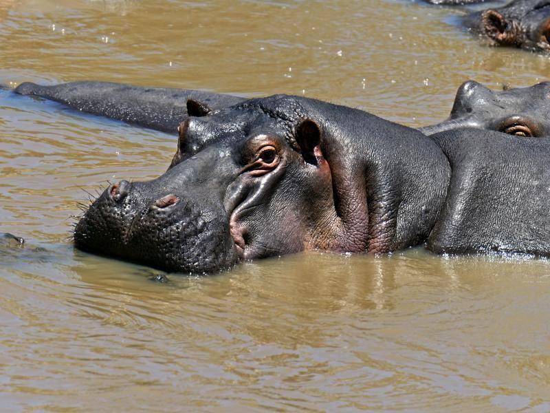 Eine Gruppe von Nilpferden kann dann auch mal aus über 100 Tieren bestehen – Bild: Shutterstock / Eduard Kyslynskyy