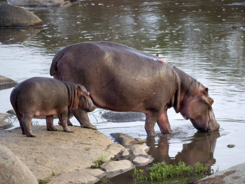 Die Jungen von Nilpferden bleiben in den ersten sechs bis acht Monaten bei ihrer Mutter – Bild: Shutterstock / Eric Isselee