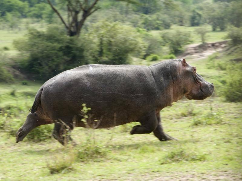 Bei Gefahr können Nilpferde aber auch schnell rennen – Bild: Shutterstock / Hailin Chen