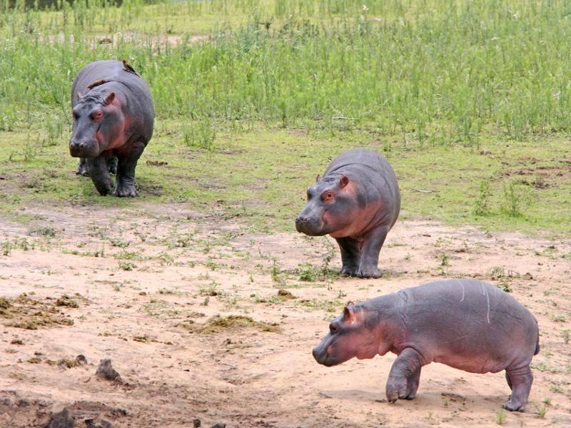 Danach werden die Jungtiere entwöhnt und leben in Gruppen oder als Einzelgänger – Bild: Shutterstock / J Reineke