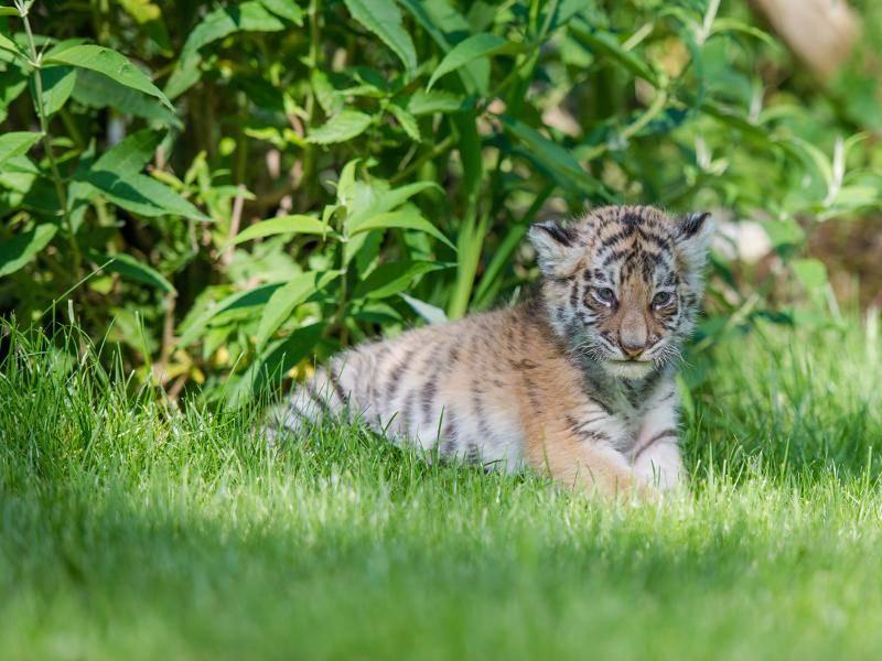 ... während dieses Tigerbaby neugierig die Wildnis erkundet – Bild: Shutterstock / Stefan Simmerl