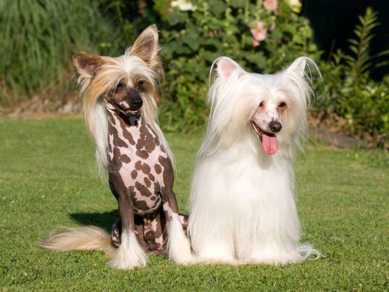 Bei den langhaarigen Vertretern darf dagegen die Pflege des langen, seidigen Fells nicht vergessen werden – Bild: Shutterstock / Lenkadan