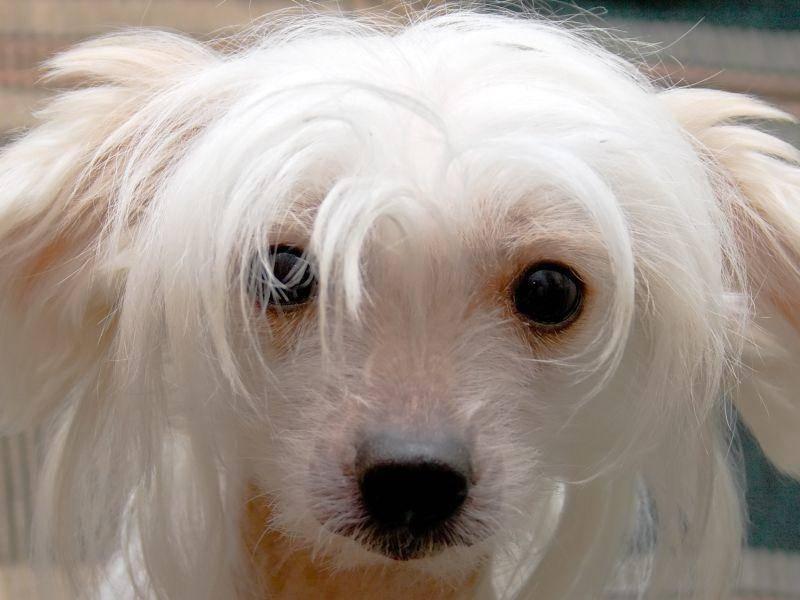 Können diese Augen lügen? Nein, der Chinesische Schopfhund ist eine ganz ehrliche Seele – Bild: Shutterstock / vikiri