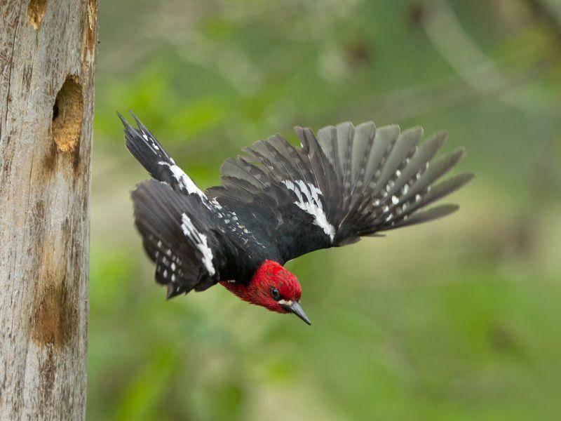 Fliegen kann der Specht natürlich auch, legt dabei aber meist nur kurze Strecken zurück – Bild: Shutterstock / Robert L Kothenbeutel