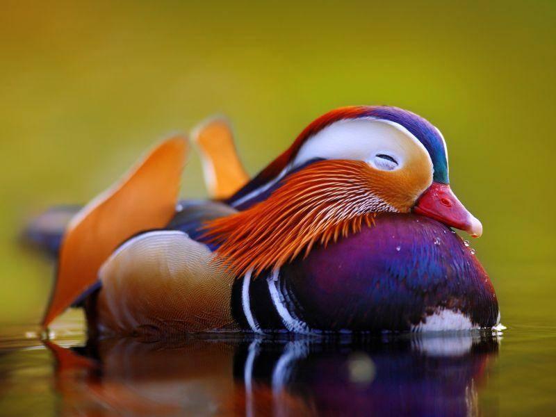 Am wohlsten fühlen sie sich dort, wo es Seen oder Teiche und Wälder gibt – Bild: Shutterstock / Tomatito