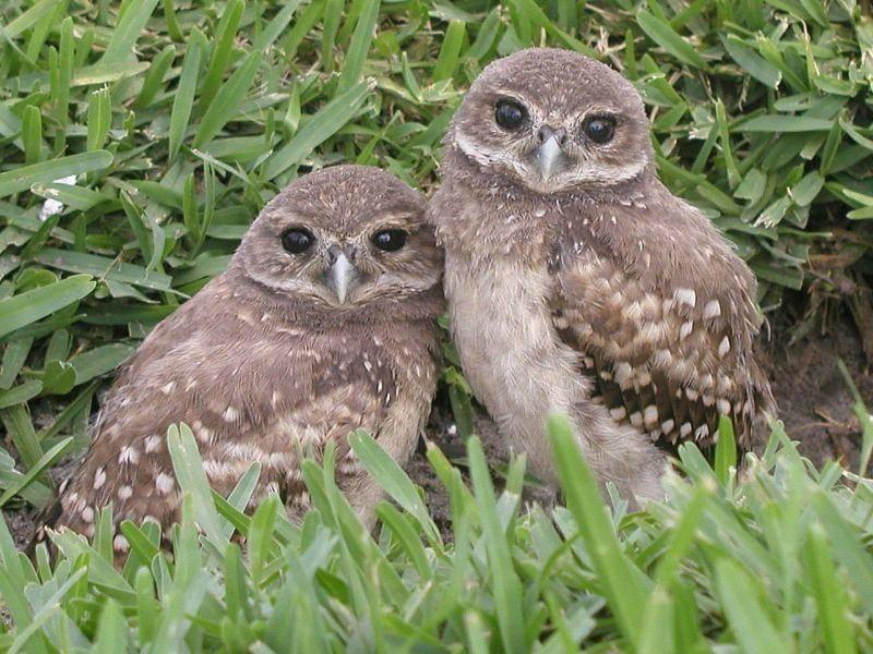 Zwei junge Käuzchen-Geschwister: Süß! – Bild: Shutterstock / Julia Freitag
