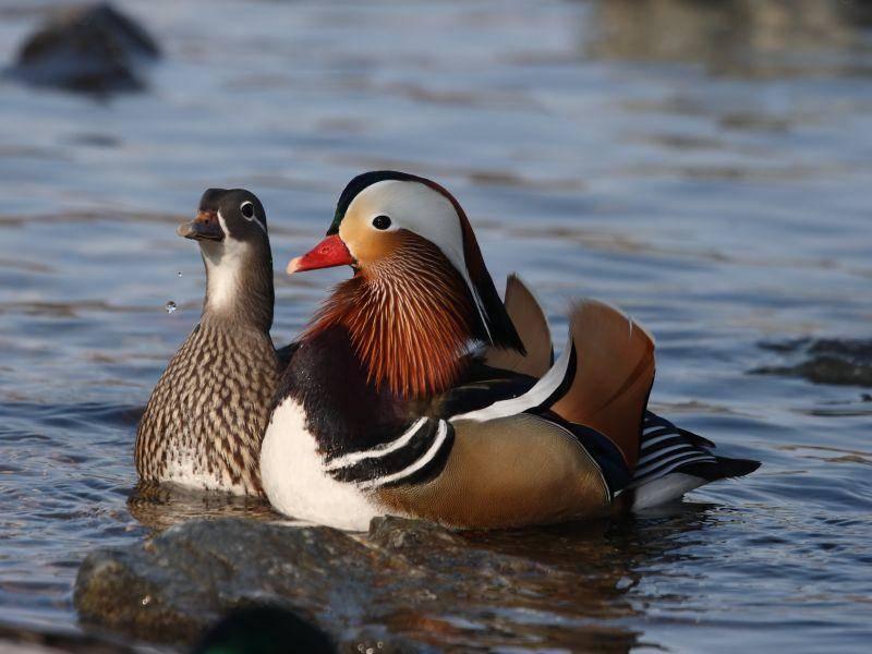 Ein Mandarinentenpaar: Das Weibchen hat ein Gefieder in bräunlichen Farbtönen – Bild: Shutterstock / Vlasta Kaspar
